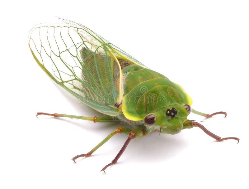 臭虫蝉绿色 免版税库存照片