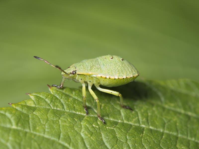 臭虫绿色盾 库存图片