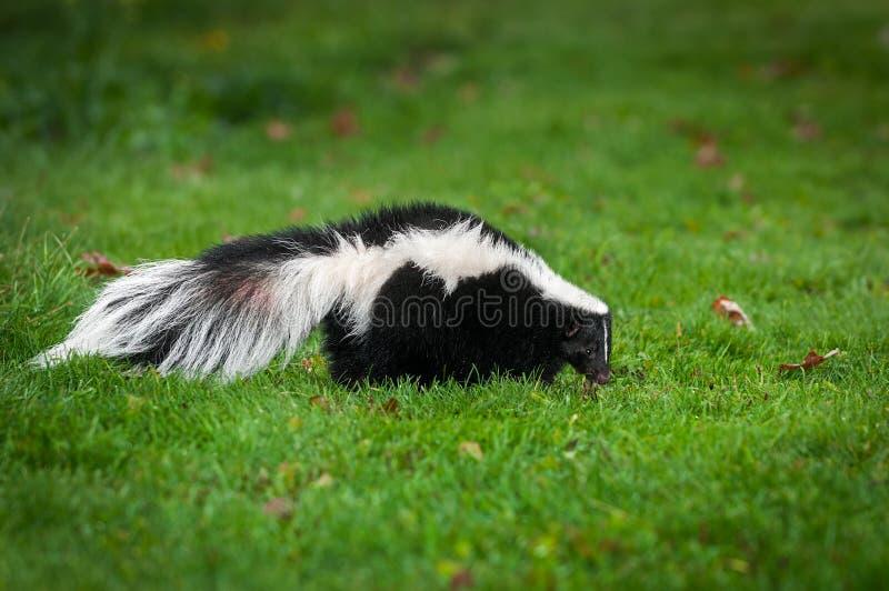 臭鼬恶臭恶臭在草走  库存照片