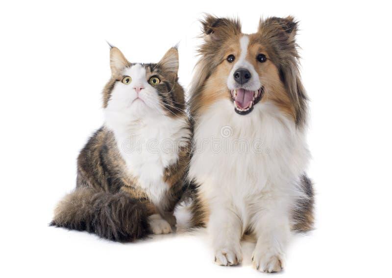 舍德兰群岛狗和缅因树狸猫 库存图片