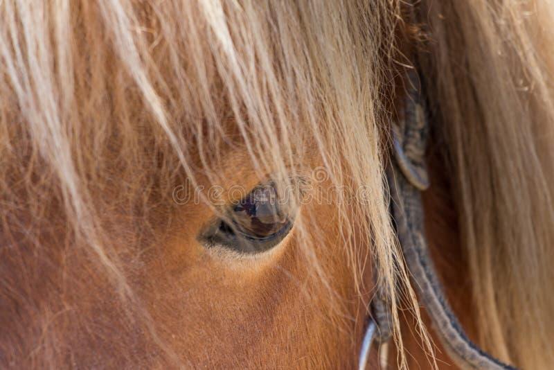 舍特兰群岛小马眼睛特写镜头 库存照片
