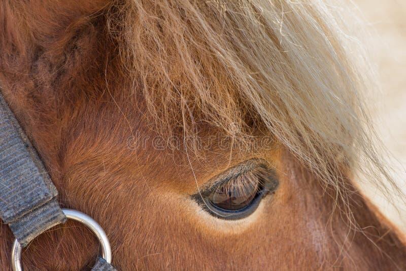 舍特兰群岛小马眼睛特写镜头 免版税库存图片