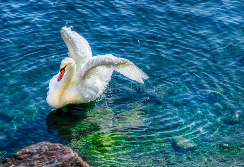 舒展在与波纹的清楚的蓝绿色水中的怀特斯旺 免版税库存照片