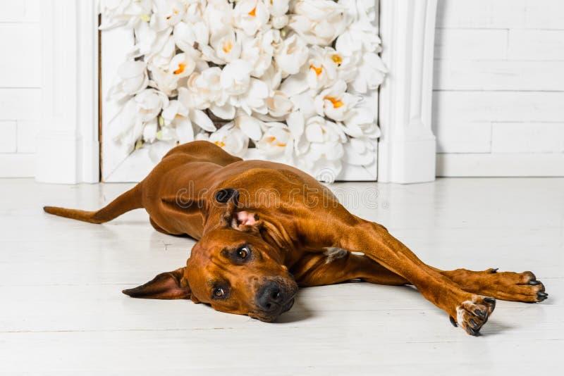 舒展在冷杉前面的逗人喜爱的轻松的Rhodesian Ridgeback狗 免版税库存图片
