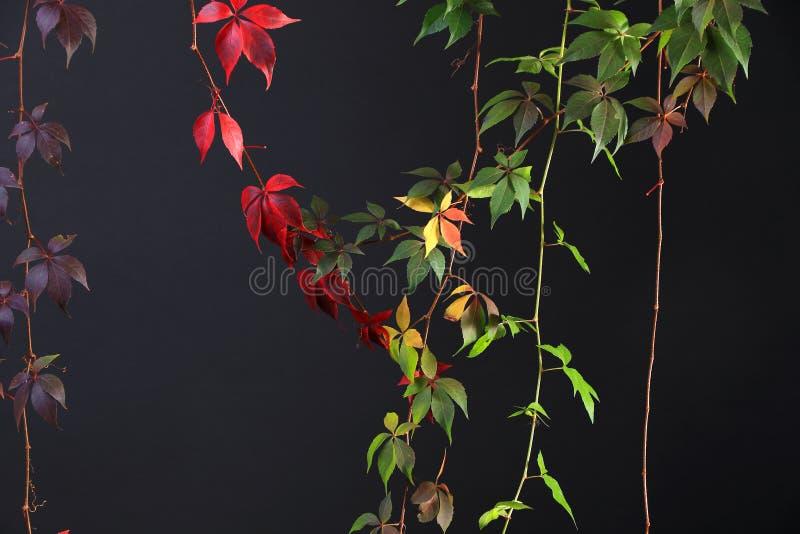 舒展在黑背景,演播室图象下的五颜六色的秋天树藤 免版税库存照片