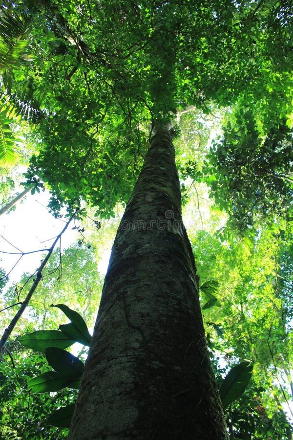 舒展对在雨林的大高度的一棵大和厚实的树 库存图片
