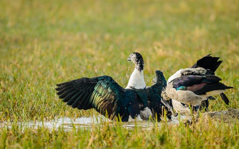 舒展翼的瘤开帐单的鸭子 库存照片