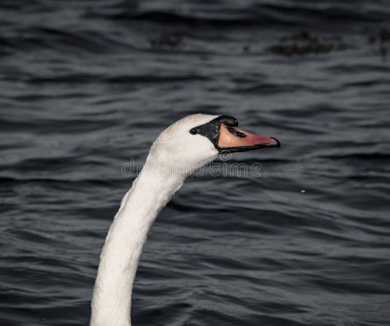 舒展脖子的天鹅 库存照片