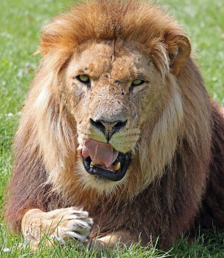 舔他的嘴唇的非洲狮子 免版税库存图片
