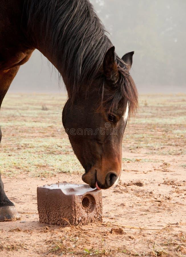 舔在盐块的马 免版税库存图片