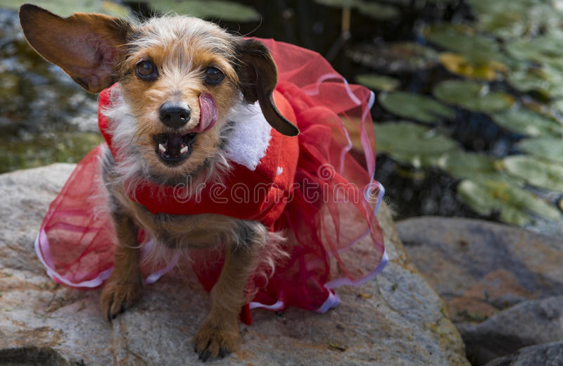 舔在红色礼服的饥饿的看起来的被混合的品种小狗嘴唇 库存照片