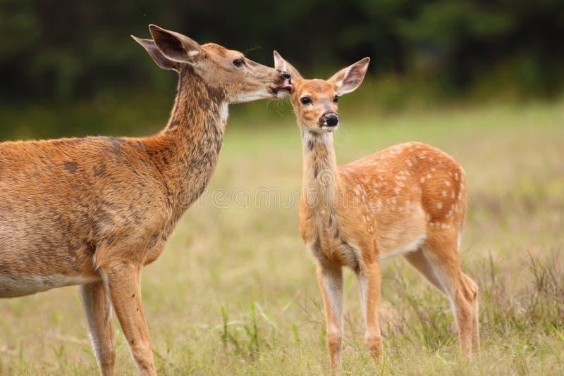 舔她的小鹿的白尾鹿母鹿 免版税库存照片