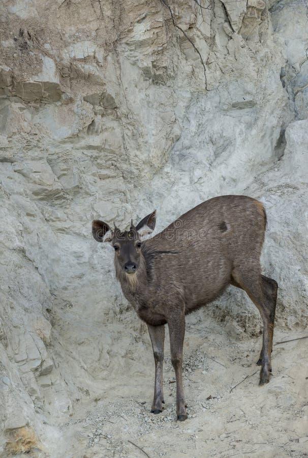 舔盐的水鹿鹿在大岩石附近 免版税库存照片