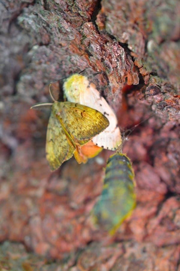 舞毒蛾男性和女性在与垂悬ner的puppae的红色吠声 免版税库存照片
