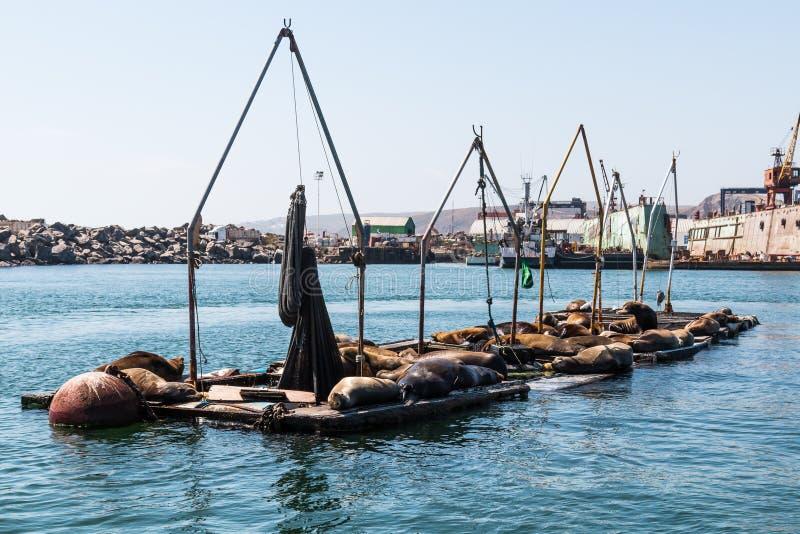 船坞的海狮基于Ensenada港的  库存照片