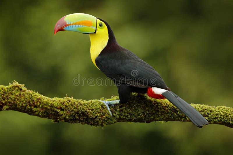 船骨开帐单的Toucan, Ramphastos sulfuratus,与大票据的鸟 Toucan坐分支在森林里,墨西哥 在铈的自然旅行 免版税图库摄影