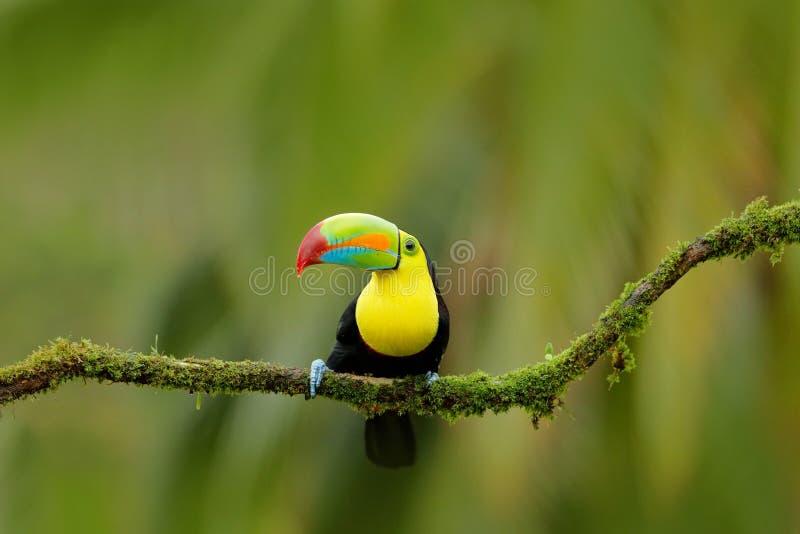 船骨开帐单的Toucan, Ramphastos sulfuratus,与大票据的鸟 Toucan坐分支在森林里, Boca Tapada,绿色vege 免版税库存图片