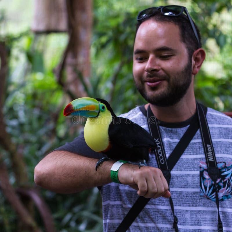 船骨开帐单的toucan - ramphastos sulfuratus 库存图片