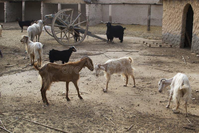 良种山羊的图象在仓库广场 图库摄影