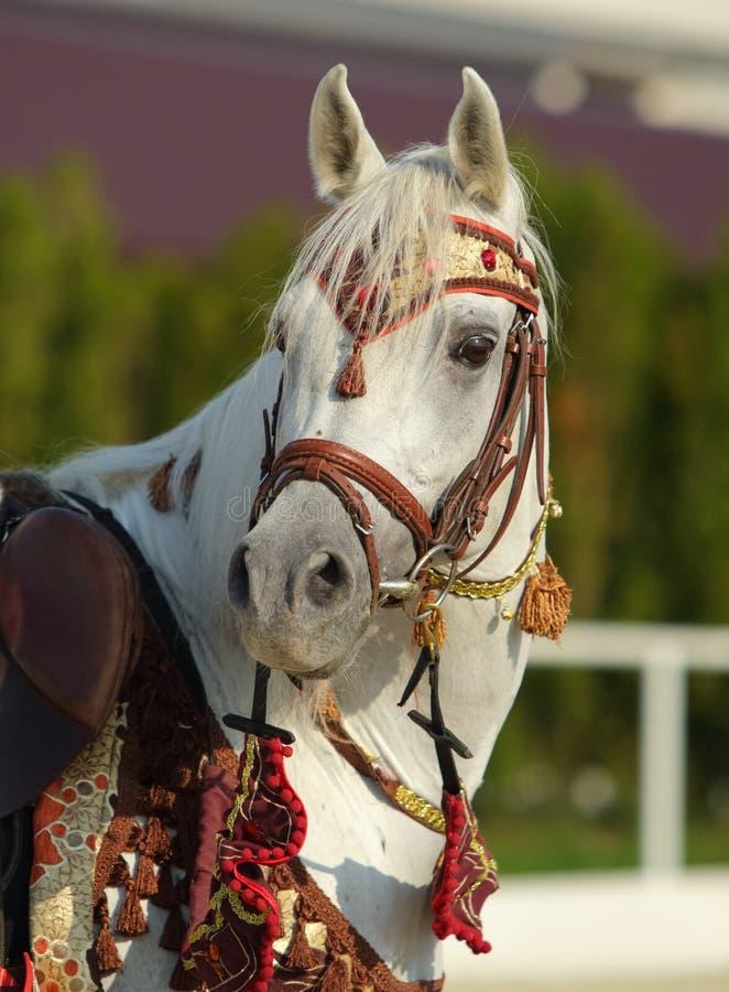 良种阿拉伯马在小牧场 库存照片