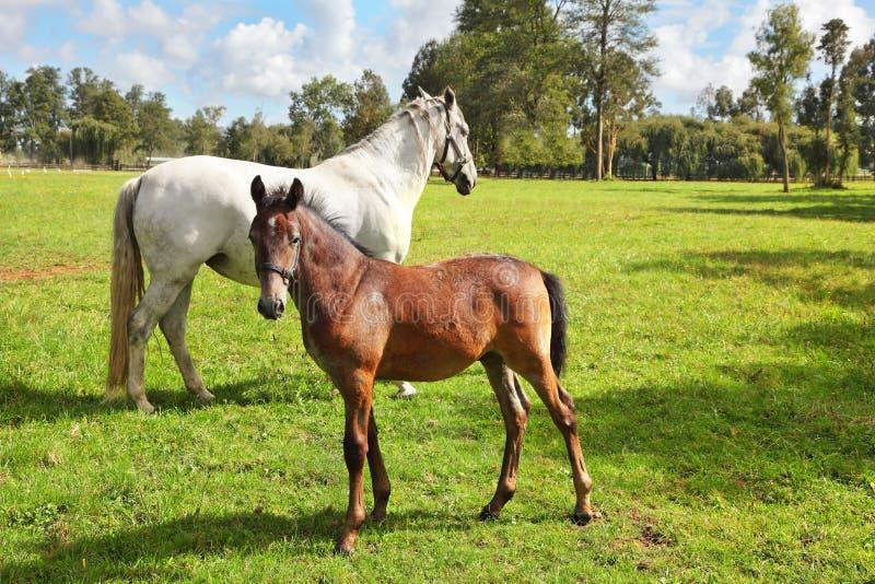 良种马骑术学校和饲养  库存照片