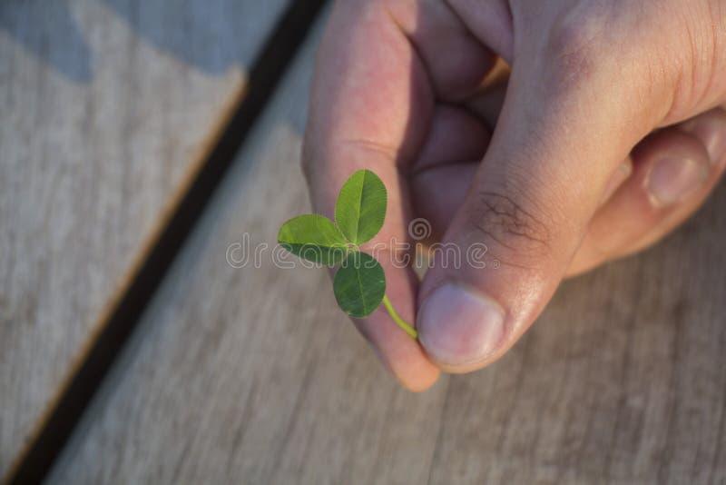 绿色三叶草植物细节人的手指的图片