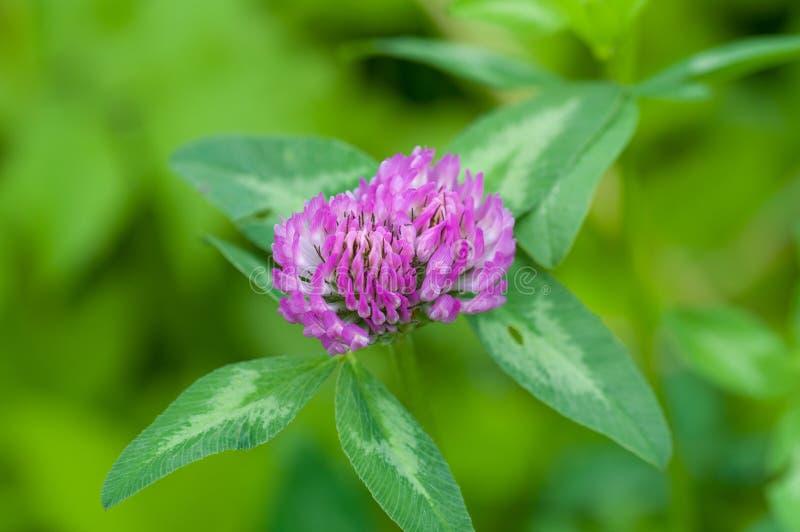 紫色三叶草 免版税库存图片