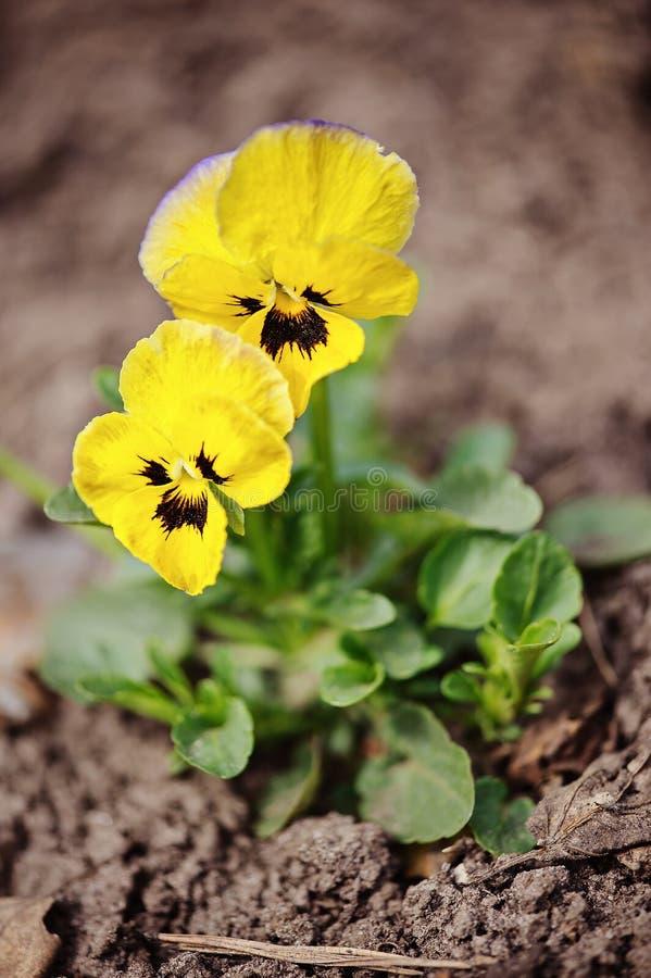 黄色中提琴在春天庭院床上关闭  免版税库存图片