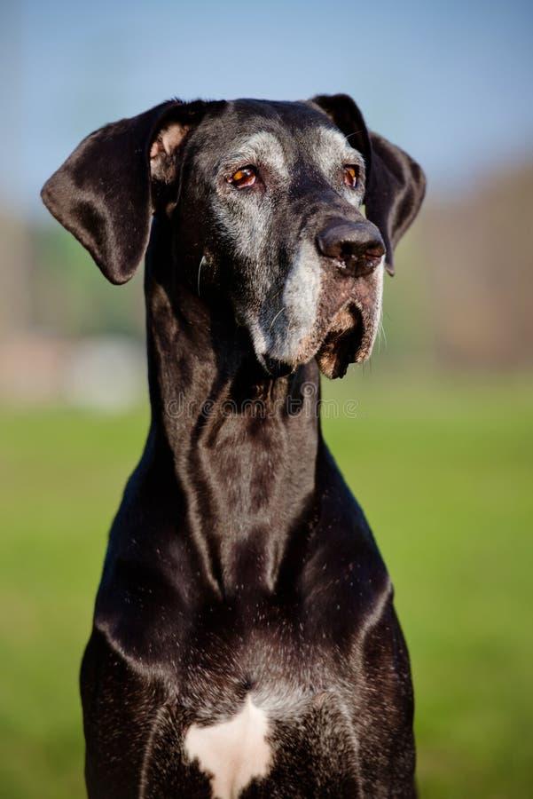 黑色丹麦人狗极大的纵向 库存照片
