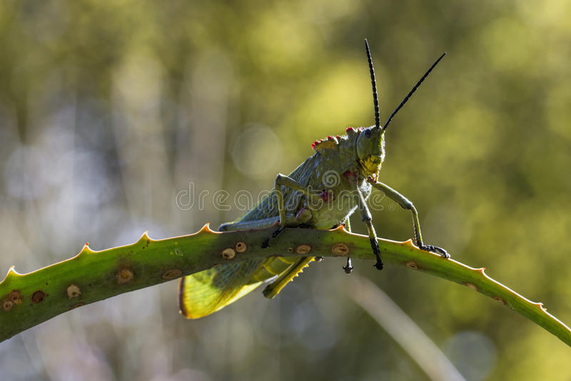 绿色乳草蝗虫 图库摄影