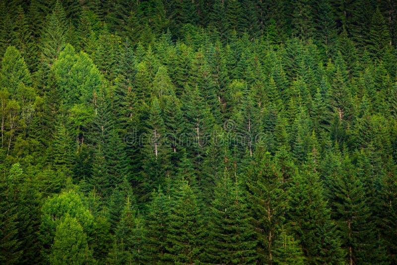 绿色云杉的森林 库存照片
