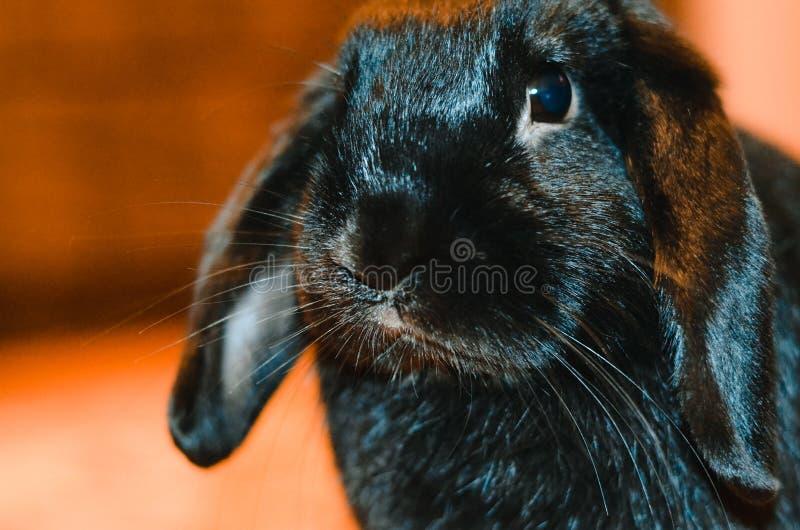 黑色兔子 免版税库存图片