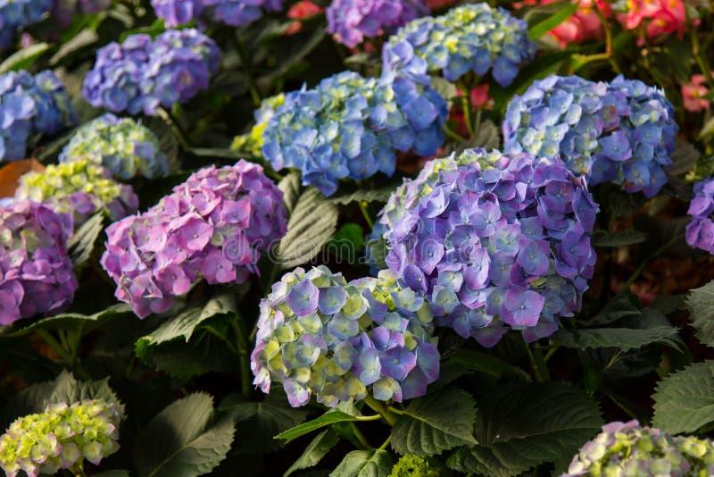 紫色八仙花属花八仙花属macrophylla在庭院里 库存图片