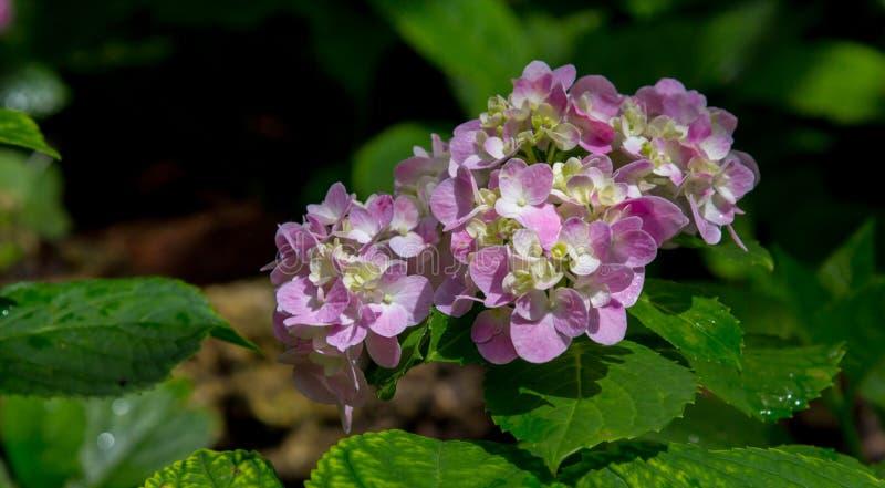 紫色八仙花属花八仙花属macrophylla在庭院里 免版税库存图片