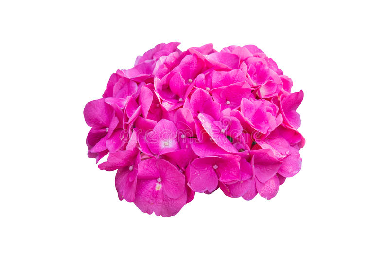 紫色八仙花属花八仙花属macrophylla在庭院里 免版税库存照片