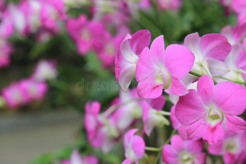 紫色兰花在庭院里开花在夏天 库存照片