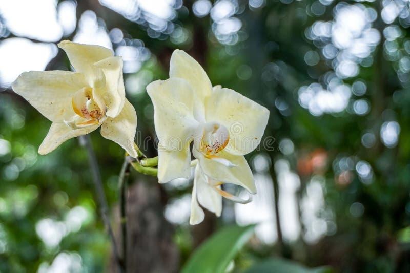 黄色兰花在庭院里 库存图片