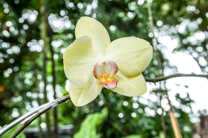 黄色兰花在庭院里 免版税图库摄影