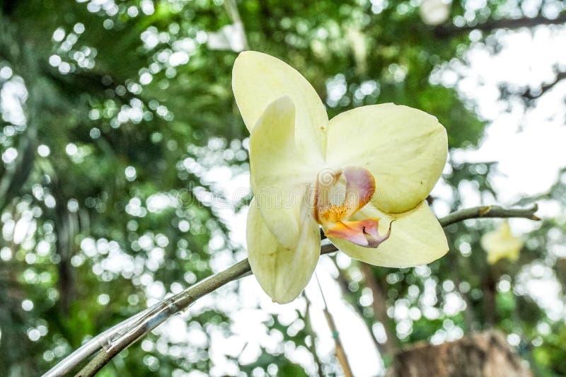 黄色兰花在庭院里 库存照片