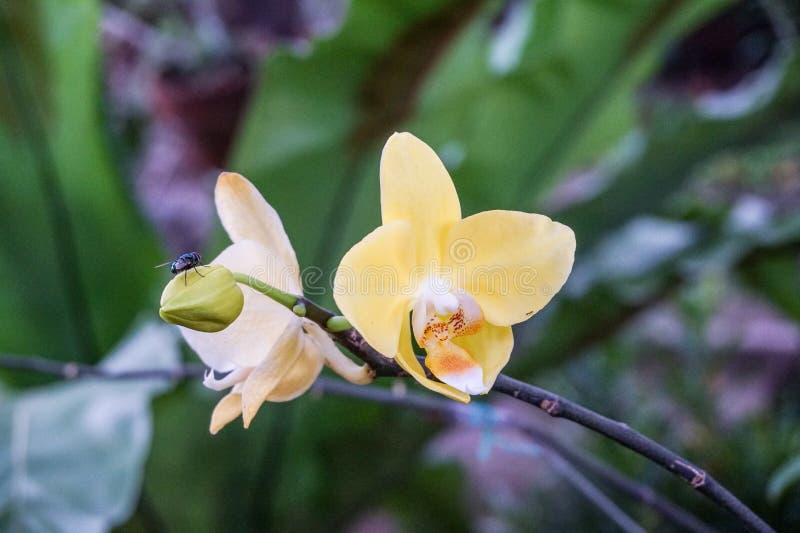 黄色兰花在庭院里 免版税库存图片