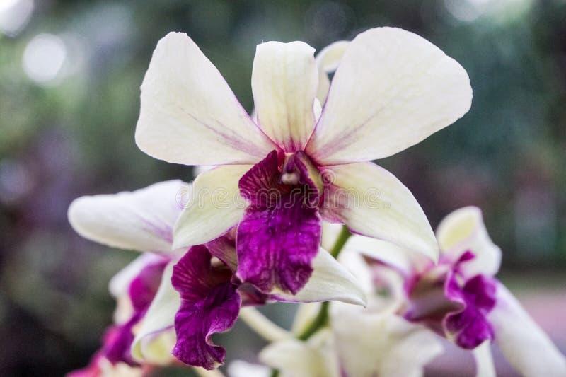 紫色兰花在庭院里 免版税库存照片