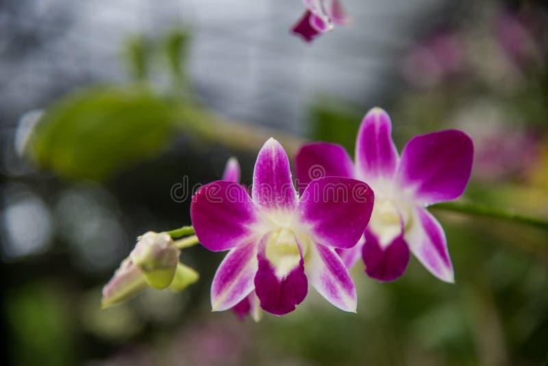 紫色兰花花开花 免版税图库摄影