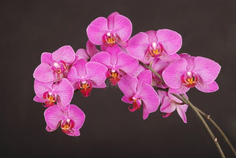 紫色兰花花 库存图片