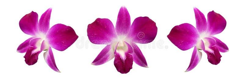 紫色兰花被隔绝在白色背景裁减路线 图库摄影