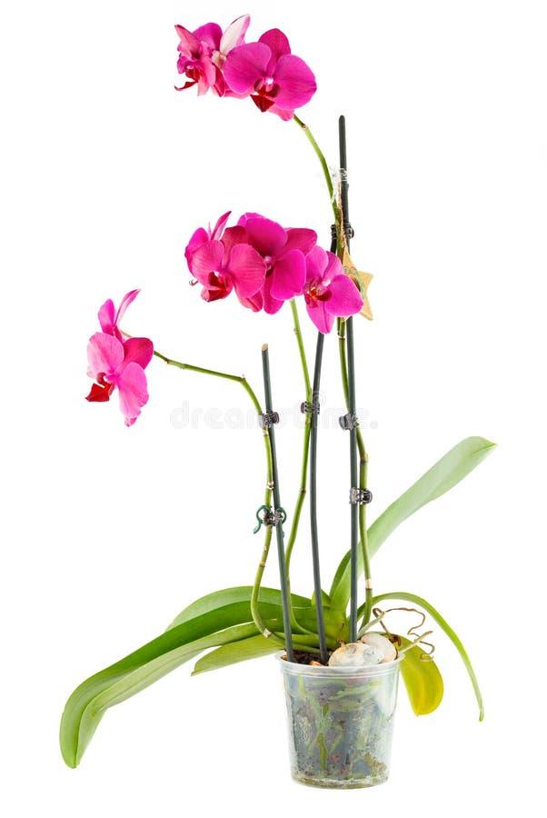 紫色兰花 在透明花盆的室花 库存照片