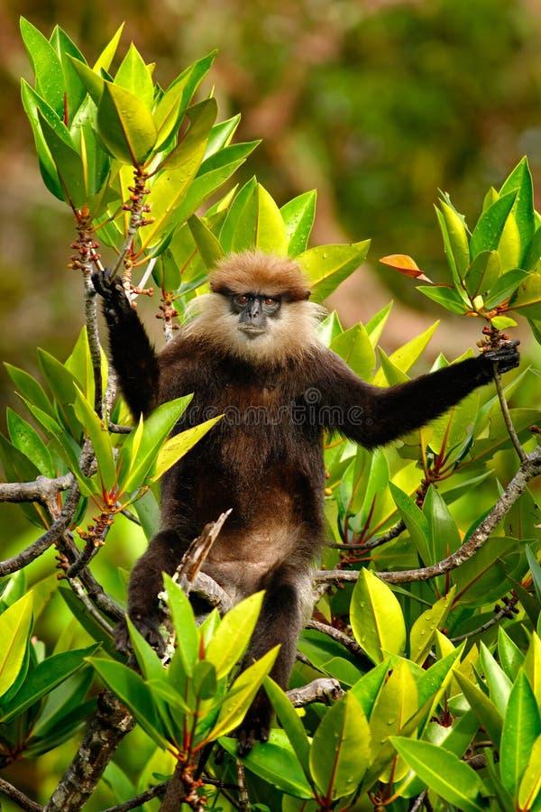 紫色具有的叶猴, Trachypithecus vetulus,猴子坐分支,自然树栖所,斯里兰卡 从Sri La的罕见的动物 库存照片