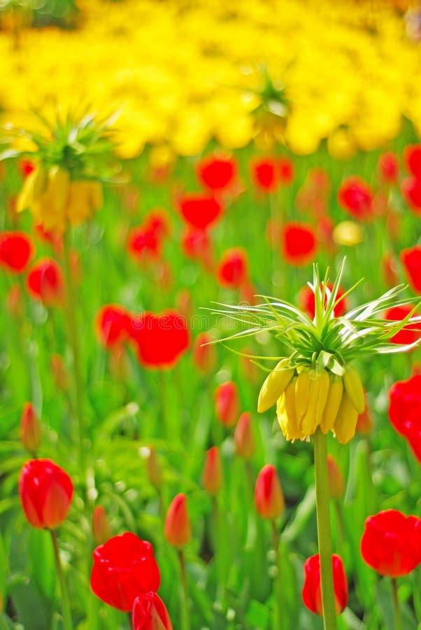 黄色冠皇家花在与红色和黄色郁金香的焦点在背景中 库存图片