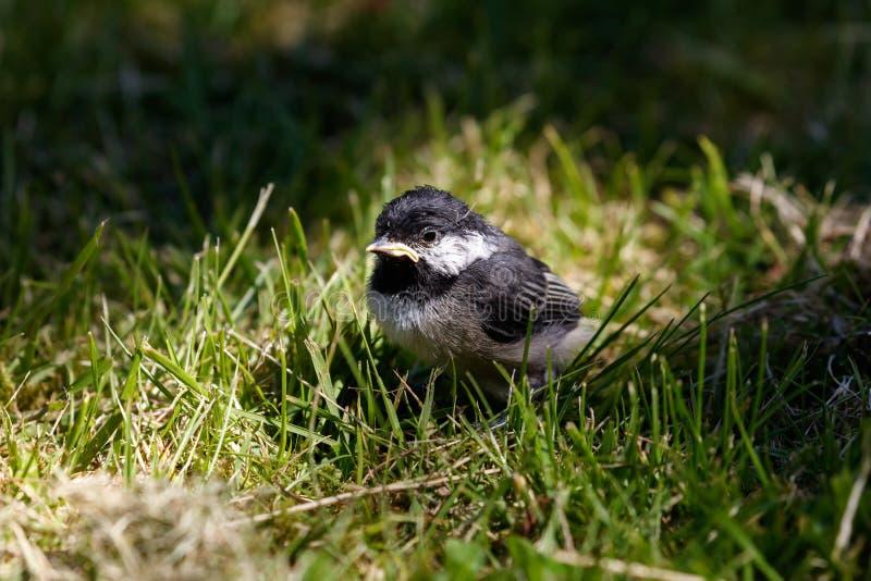 年轻黑色加盖的山雀画眉鸟怎么分别眼水图片