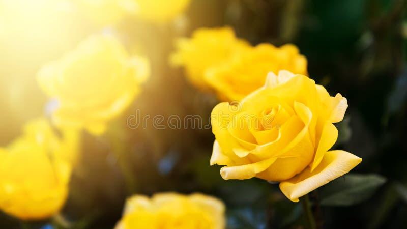黄色反对阳光的玫瑰花 免版税库存照片
