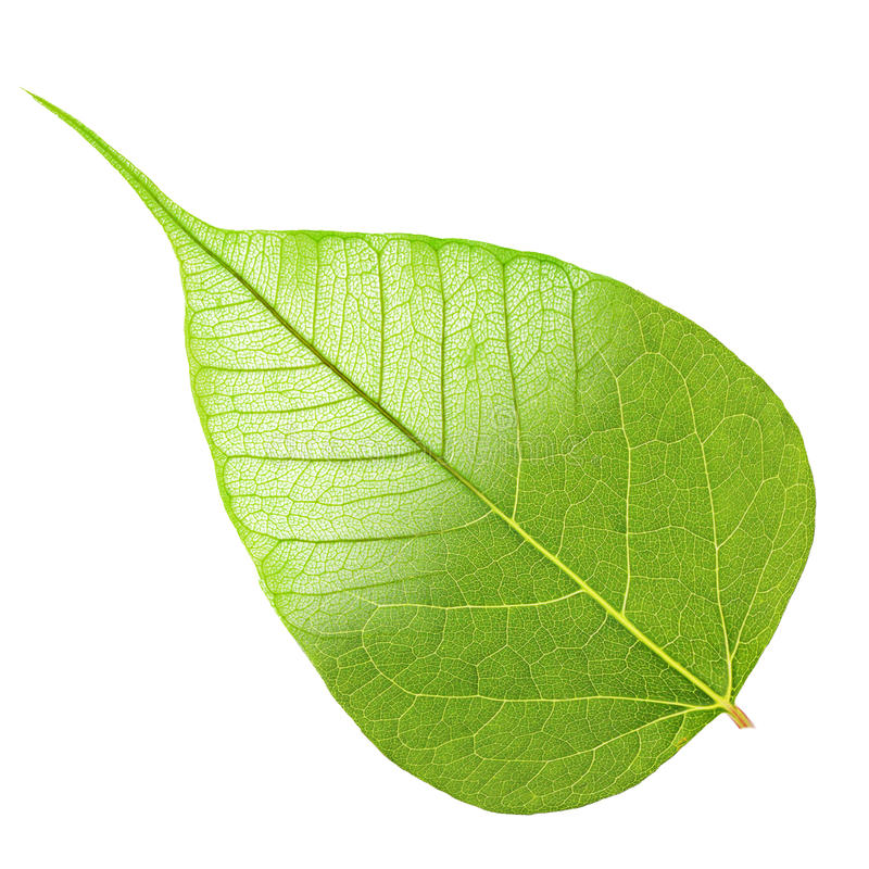 绿色叶子半骨骼 免版税库存图片